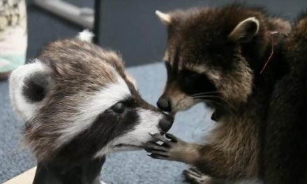'Guardians of the Galaxy' Critter, Oreo the Raccoon, Has Passed Away