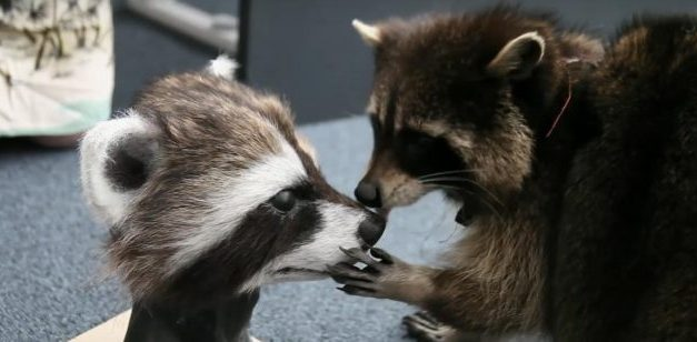 "<span class=""quo"">'</span>Guardians of the Galaxy' Critter, Oreo the Raccoon, Has Passed Away"